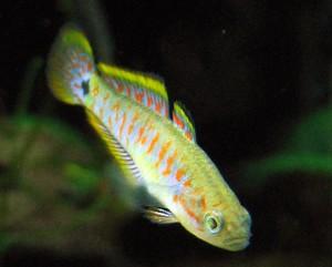 Tateurndina ocellicauda, pesce d'acqua dolce