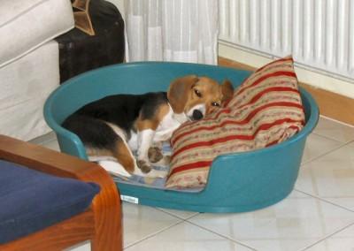 Dormitina di Diana, la Beagle di casa