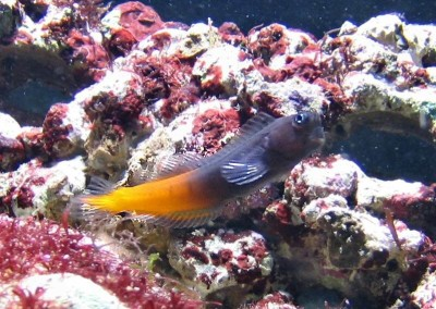 1282-ecsenius-bicolor