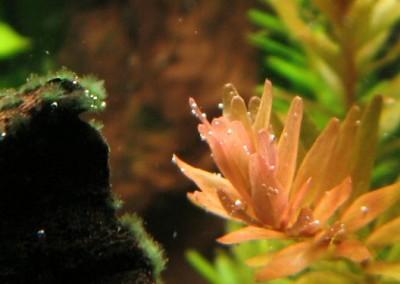 Pianta acquatica: Rotala