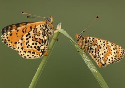 doppia melitaea (farfalla)