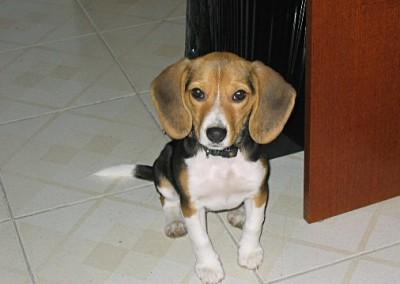 Quant'è bello questa Beagle?
