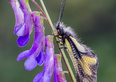 Libelloides su fiore