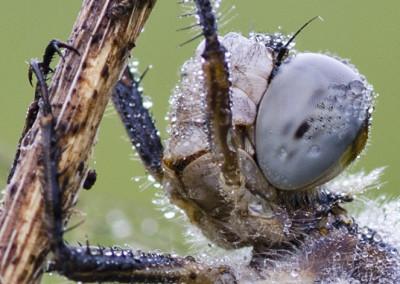muso di libellula maschio